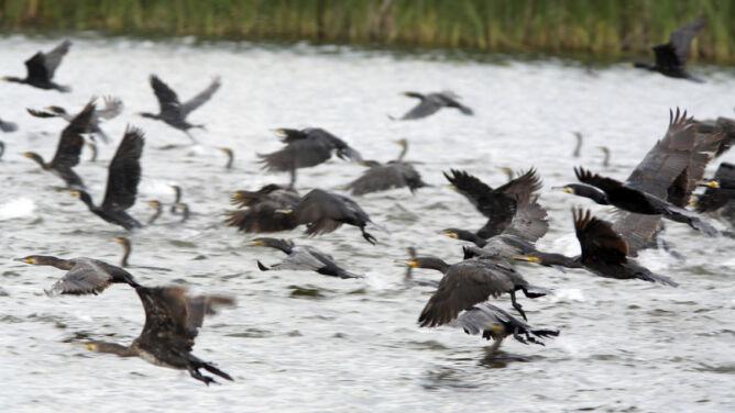 Prawie 1,5 tysiąca kormoranów do odstrzału na Mazurach