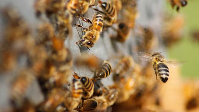 Badacze z Australii: jad pszczół może zwalczać komórki raka piersi